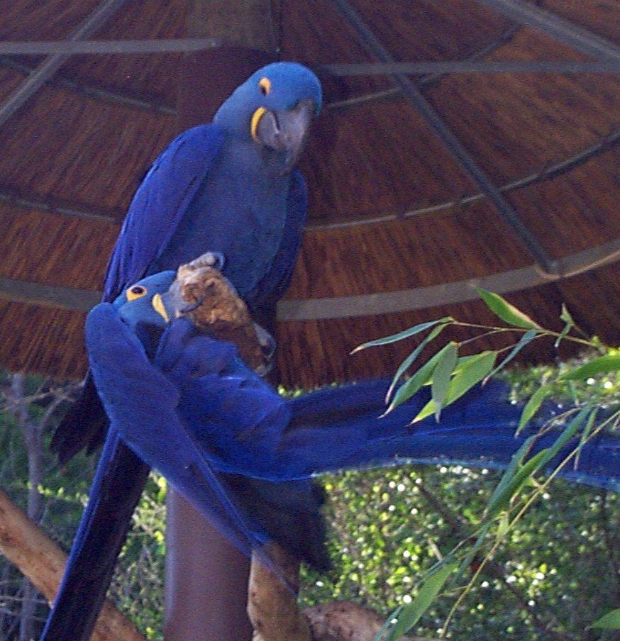 Hyacinth Macaw For Sale @ pitohi49 :: 痞客邦::
