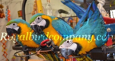 blue gold macaw baby,handfed