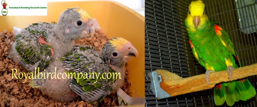 handfed baby double yellow head amazon parrot