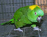Yellow-Naped Amazon Parrot Bird Species Profile